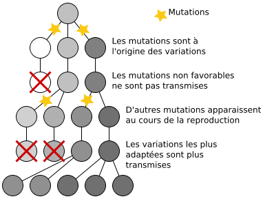 Evolution : mutations